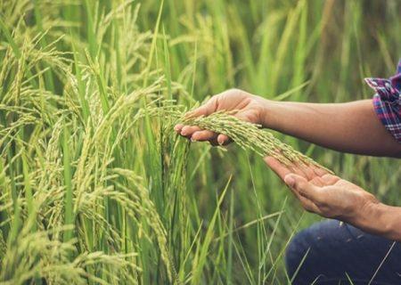 برداشت نخستین خوشههای برنج در مازندران/ پیشبینی برداشت بیش از یکمیلیون تن برنج سفید