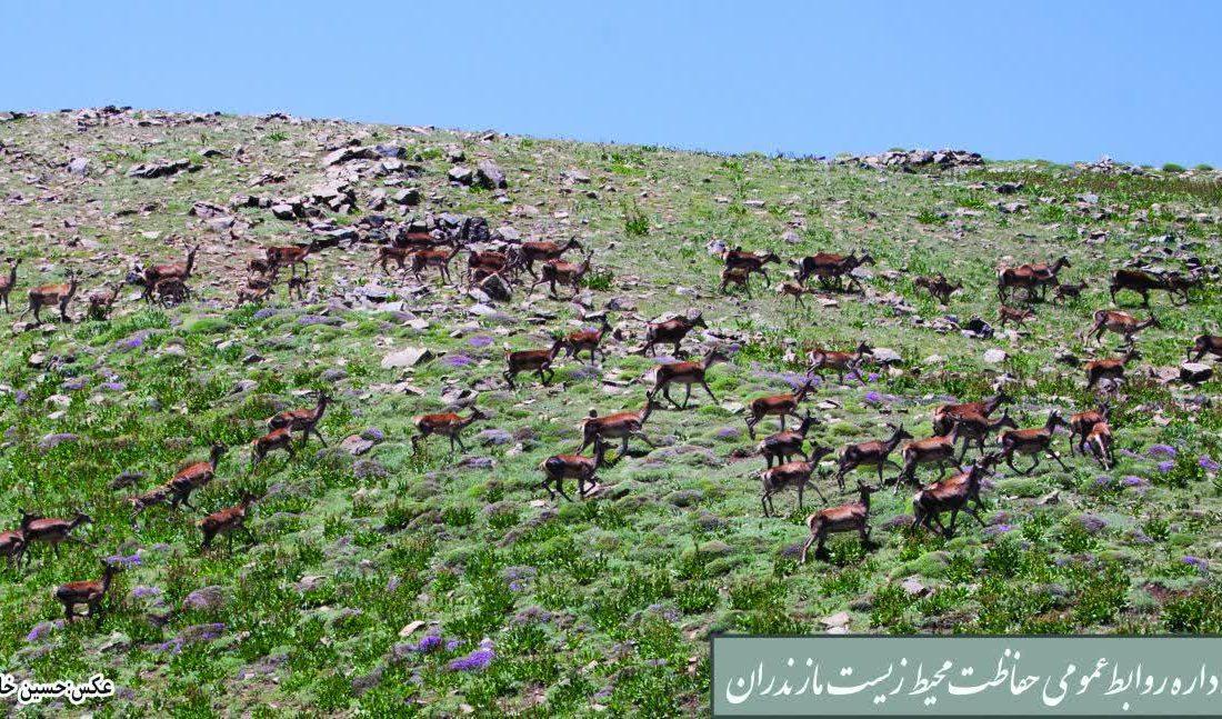 شروع فصل گاوبانکی و مستی مرال ها درمازندران